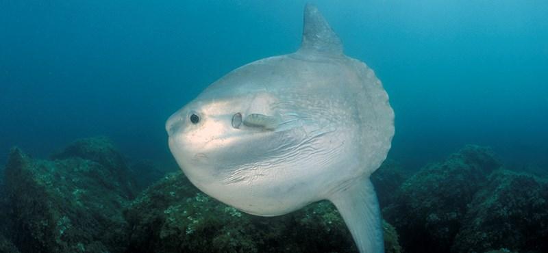 Óriási trópusi halat láttak Skócia partjainál
