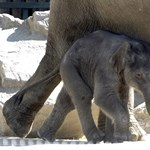 Artúr, Huba vagy Soma? Dönthet a budapesti kiselefánt nevéről