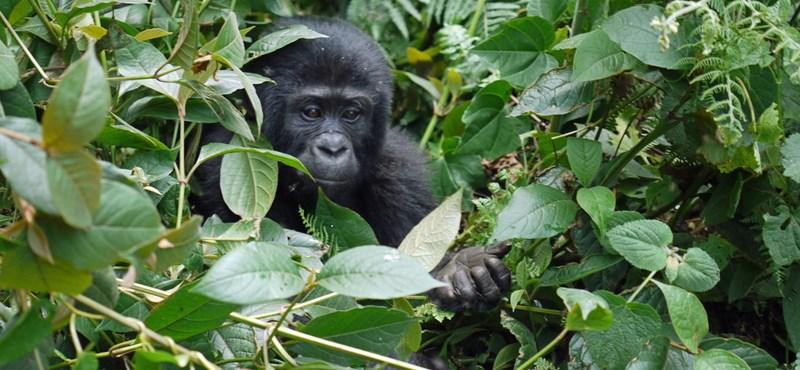 A gorillák kommunikációjának titkait tárta fel egy új kutatás