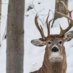 Furcsa, háromagancsú szarvast fotóztak az amerikai vadonban