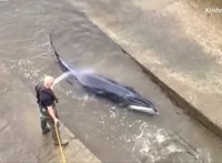 Nem tudták megmenteni a Temzében rekedt bálnát