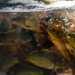Idén is állatkínzással felérő módon árulták a halakat a boltokban