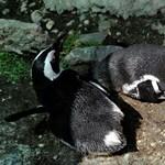 A példa nélküli időjárás több ezer pingvinfióka életébe került