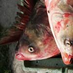 A kormány büntetve száll be a nagy halháborúba