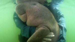 A műanyagokba halt bele Mariam, a tavasszal megmentett dugong
