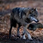 Rendelettel védené a falu környéki farkasokat Füzér