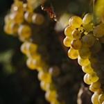 Hallott már a holland borról? Most került egy lépéssel közelebb a tokajihoz