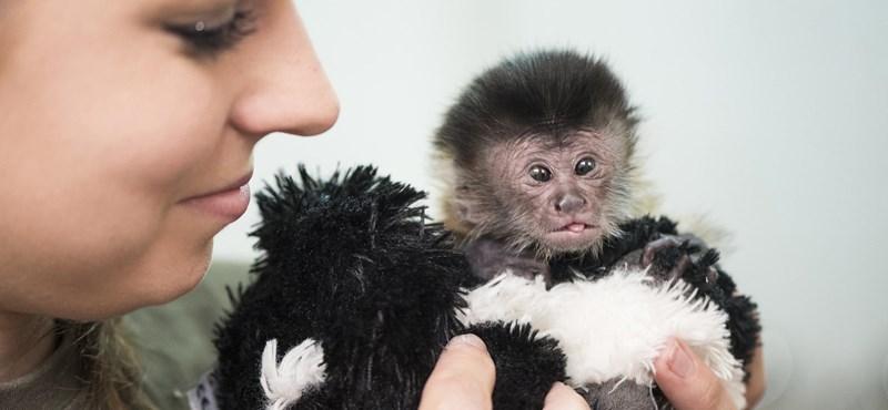 Kézi táplálásra szorul az újszülött debreceni kismajom