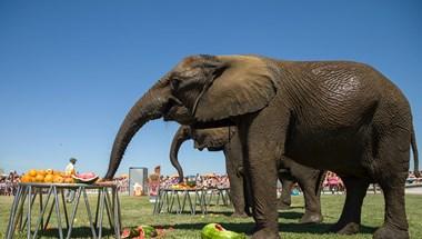 Elefántok járkálnak a Balatonnál – fotók