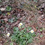 Felébredt a természet a januári tavaszban, virágzik a szellőrózsa és a százszorszép – fotók