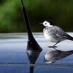 Jön a tükörképükre támadó madarak időszaka
