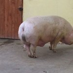 Fotó: 580 kilót nyom egy romániai disznó