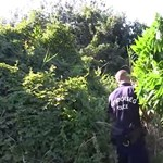 Természetvédelmi területen találtak marihuánaültetvényt