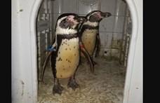 Megtalálták a két lopott pingvint