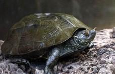 Szarvacskákat visel a szemhéján egy ritka kínai teknős