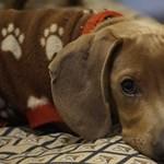 Törli az állatszaporítók hirdetéseit a Jófogás