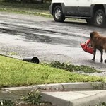 Egy zsák táppal készült a texasi kutya a hurrikán utáni életre