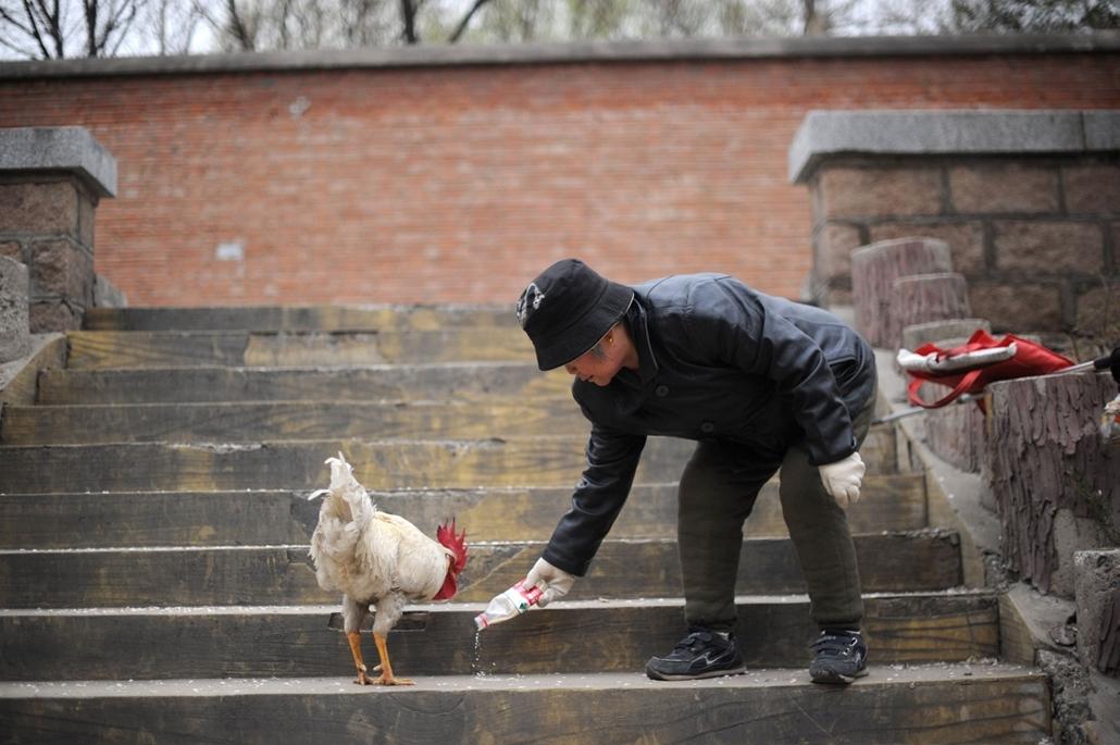 Madárinfluenza, H7N9 törzs - Egy idős asszony etet egy kakast Peking egyik lakónegyedében