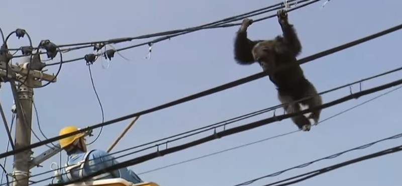 Elszökött egy csimpánz egy állatkertből – videó