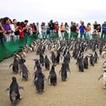 A pingvinek kiszagolják a rokonaikat, és más társ után totyognak