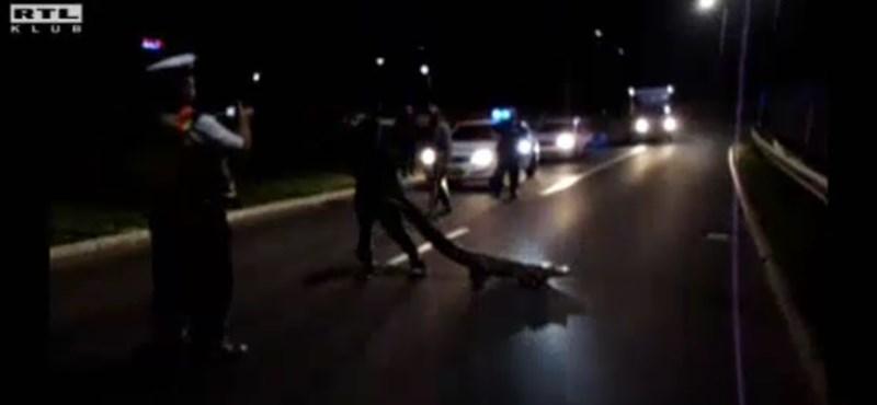 Aligátort találtak az út közepén Hatvanban – videó a befogásról