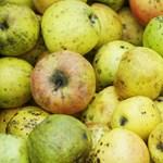 Nincs, aki leszedje az almát meg a körtét