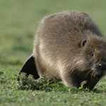 Árvizeket okozhatnak az elszaporodott hódok a Dunántúlon