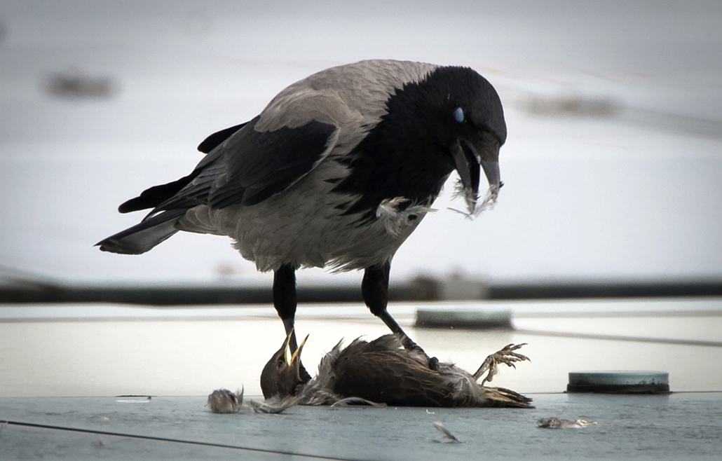 afp. 2014. állatos nagyítás, varjú, Németország, Berlin : A crow eats it's prey sitting on the roof of the Chancellery in Berlin on May 6, 2014.