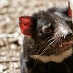 El rey de los antibióticos se puede extraer de la leche del diablo de Tasmania.