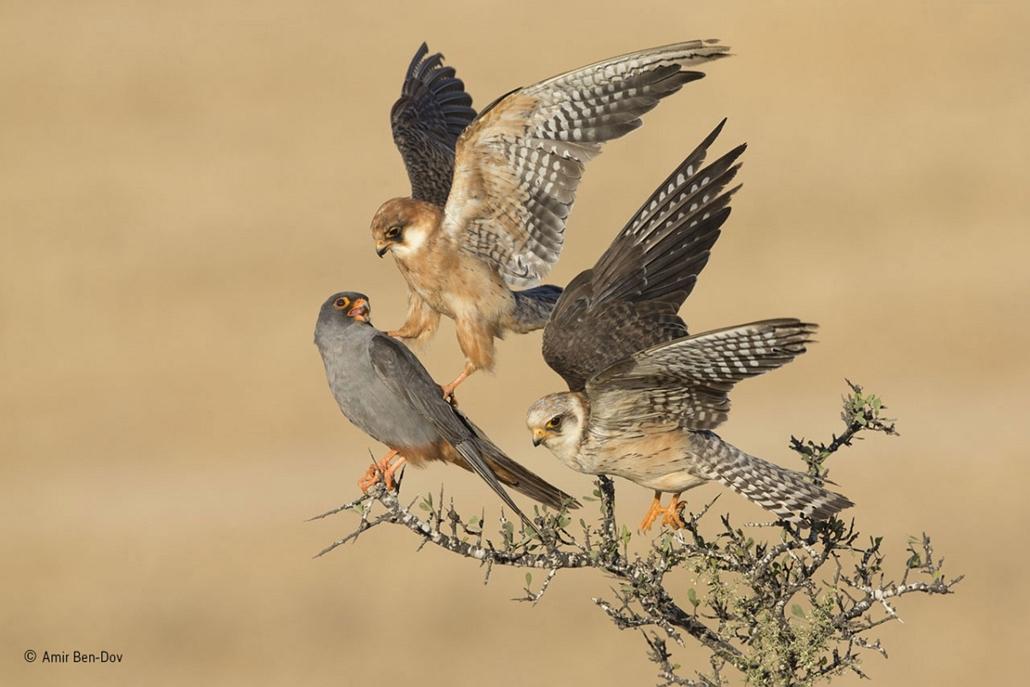 NE HASZNÁLD!!!!!!!!! - Wildlife Photographer of the Year - Amir Ben Dov - Birds