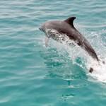 Ilyet még nem látott: delfinek vadásztak a cápára, el is kapták – videó