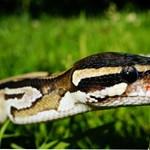 Élő kígyóval kínoztak a rendőrök egy állítólagos tolvajt Indonéziában