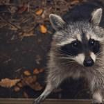 Nem, nincsenek mosómedve-viadalok Kanadában