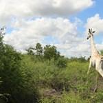 Nyomkövetőt kapott a világ utolsó ismert fehér zsiráfja, tavasszal vesztette el családját