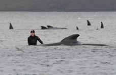 Több mint százat sikerült megmenteni a Tasmániában partra vetődött delfinek közül