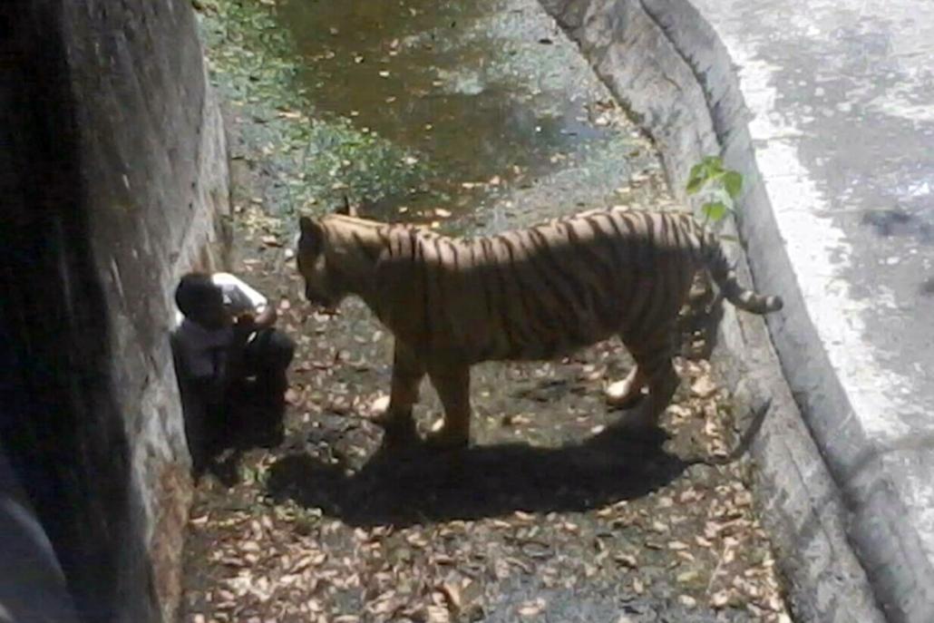 afp.14.09.23. - Újdelhi, India: megtámadott és halálosan megsebesített egy indiai fiút a delhi állatkert fehér tigrise - 7képei