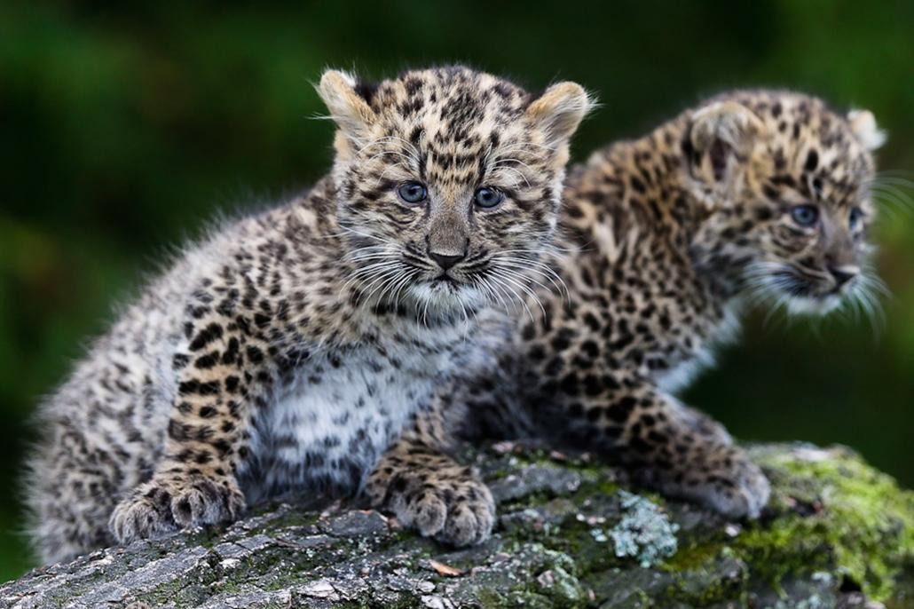 leopárd kölykök, kisállat, állatkert, hét képei