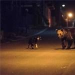 Barna medvék kószálnak az ország északi részén