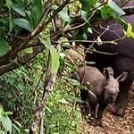 Súlyosan veszélyeztetett orrszarvúfaj gyarapodott újabb utóddal Kenyában