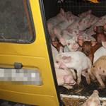Fotó: Nagyon cuki malacokat mentettek ki egy állatkínzó kocsijából
