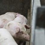 Ellepik-e a disznók a Népligetet? – Liberalizálta a kormány az állattartást