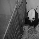 Kamerák előtt született meg a pandabocs a washingtoni állatkertben – videó