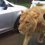 Megelégelték az oroszlánok a szomszédban zajongó útépítést (videó)