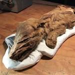 Páratlan lelet: 50 ezer éves farkaskölyök mumifikálódott tetemére bukkantak