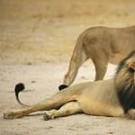 Lehet-e valaki annyira idióta, hogy oroszlánt akarjon simogatni?