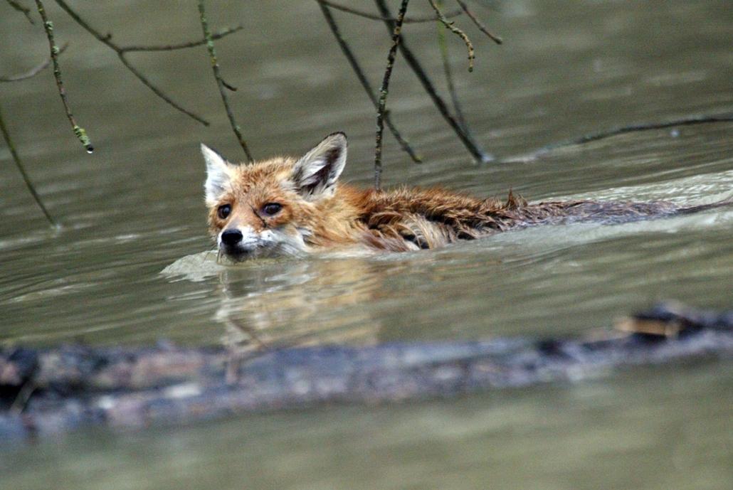 Gemenc, árvíz 2013, menekülő vadak - Víz alatt a gemenci erdő