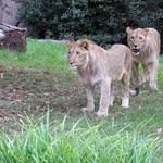 Engedély nélkül tartott oroszlánja ölte meg a cseh gazdát