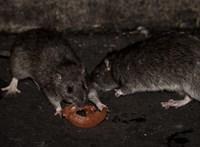 A törvényszéken elvérzett a patkányirtás-tender, a Közbeszerzési Döntőbizottságot új eljárásra kötelezték
