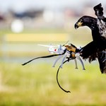 Sasokkal vadássza le a drónokat a holland rendőrség