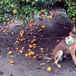 A kutyák legújabb szuperképessége: 99%-os pontossággal képesek kiszagolni egy kórt